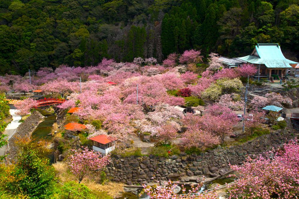 桜満開の一心寺の様子